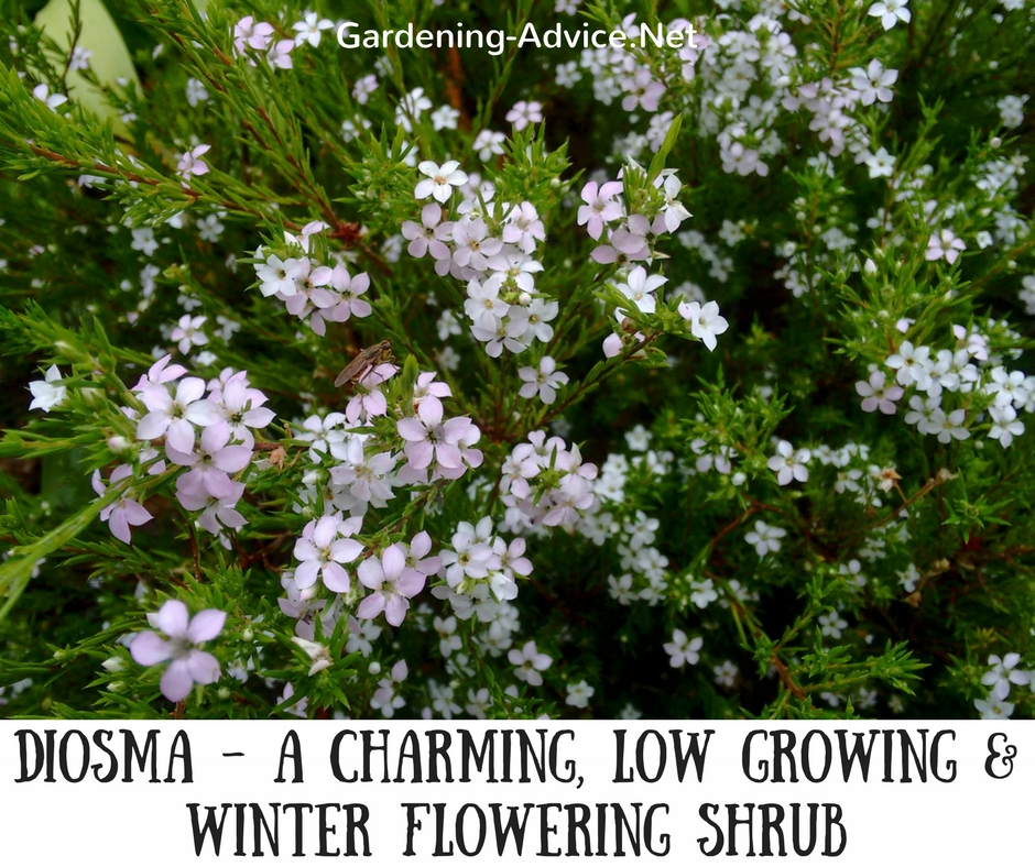 Winter Flowering Bushes