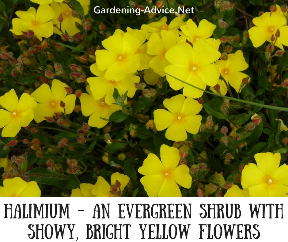 Dwarf flowering shrubs for seaside gardens this is a lovely evergreen shrub with showy bright yellow flowers during the summer halimium grows about 15 feet high and wide and is a fantastic mightylinksfo
