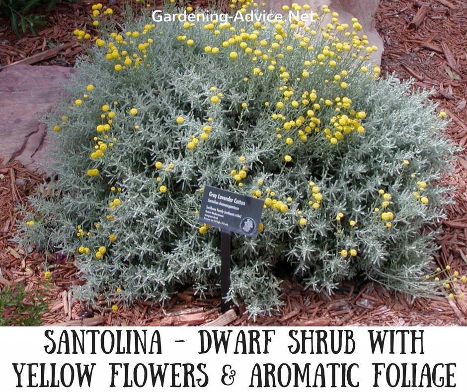 Dwarf flowering shrubs for seaside gardens this is also an evergreen plant with silvery aromatic foliage they can reach a height of 2 feet and a spread of 3 feet yellow button like flowers appear mightylinksfo