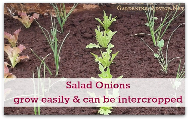 Salad Onions And Letttuce