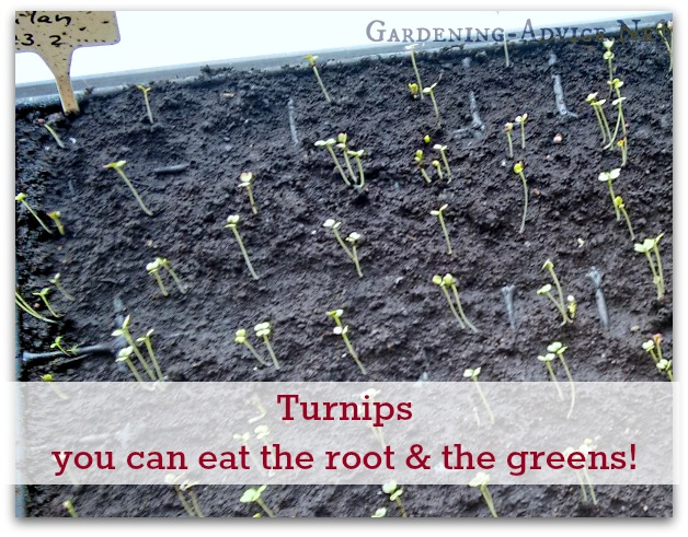 Turnip Seedlings