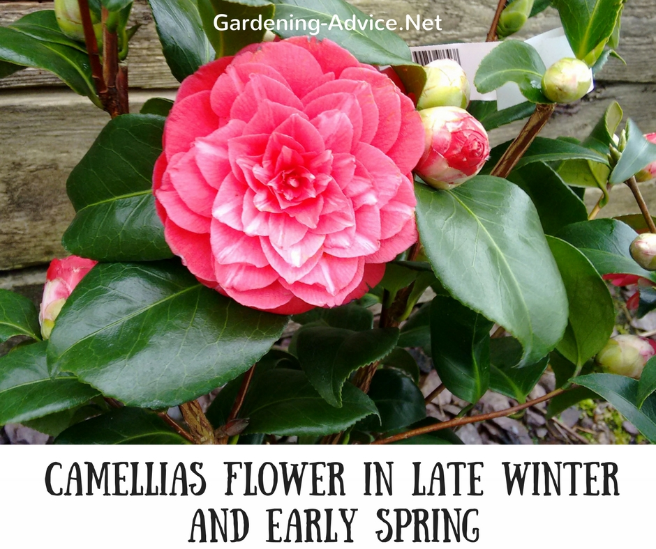 10 evergreen flowering shrubs to brighten up your coastal garden camellias are another flowering evergreen shrub that is a great highlight in the garden during winter and spring in some gardens they start as early as mightylinksfo