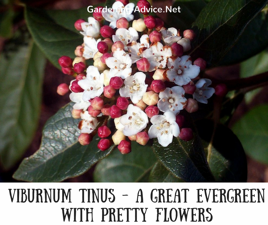10 evergreen flowering shrubs to brighten up your coastal garden these types of evergreen flowering shrubs have dark green foliage and clustered white flowers followed by metallic blue berries flowers appear from late mightylinksfo