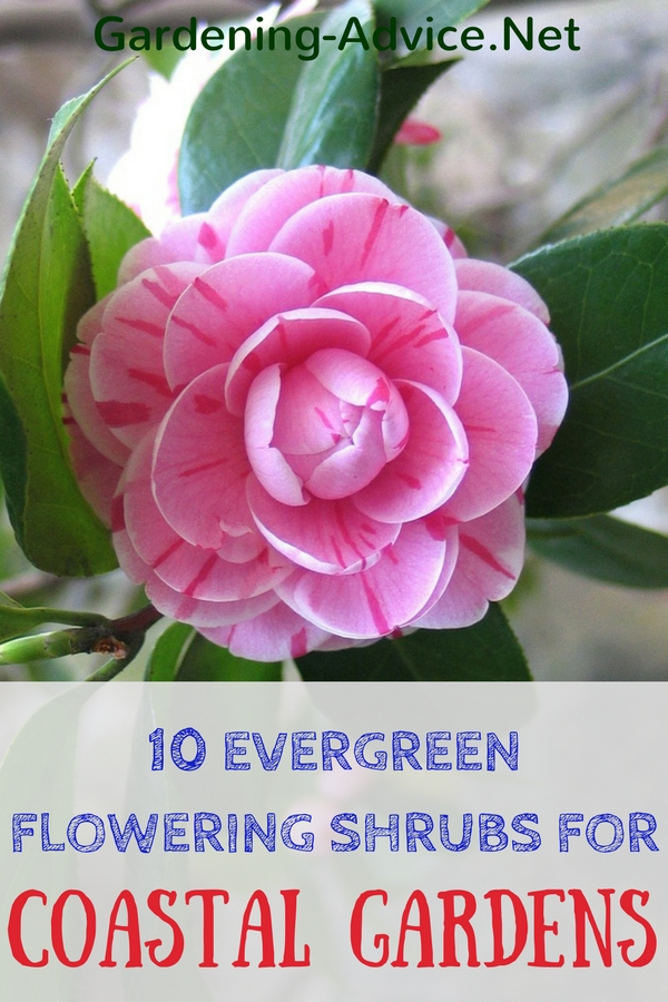 Evergreen Flowering Shrubs For Coastal Gardens