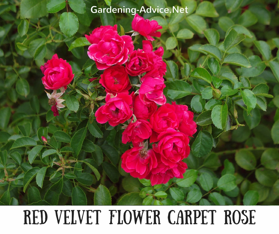 Red Velvet Carpet Rose
