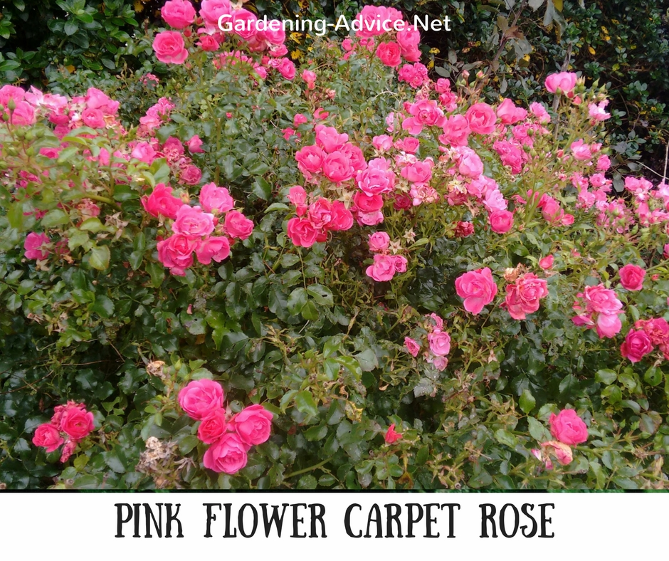 Pink Carpet Rose
