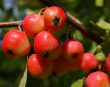 Crab Apple Fruit