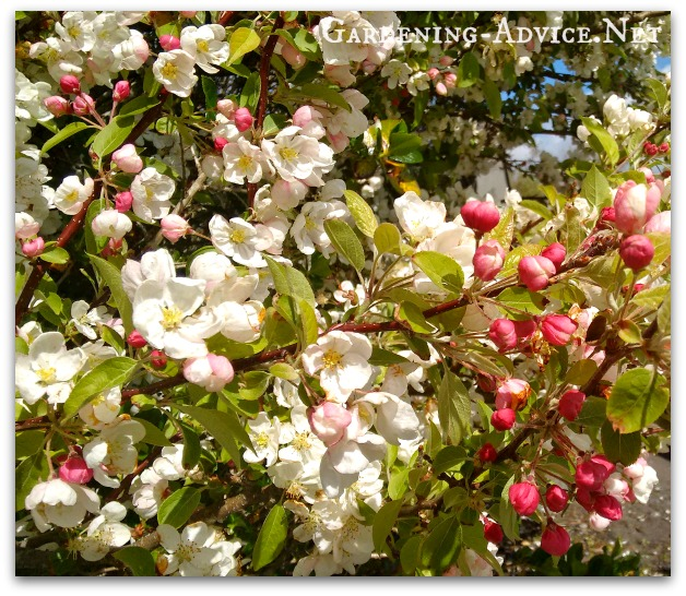 crab apple flowers