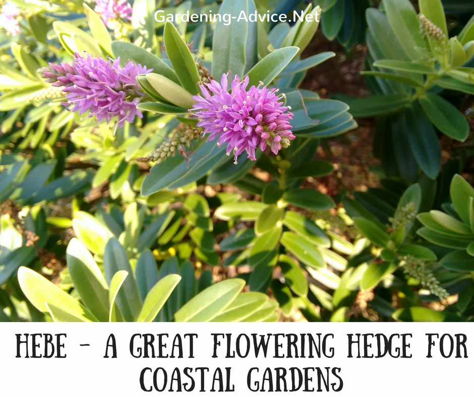 Flowering hedges for coastal gardens they vary greatly in size flower and foliage color you have the choice between pink blue or whites and mightylinksfo Images