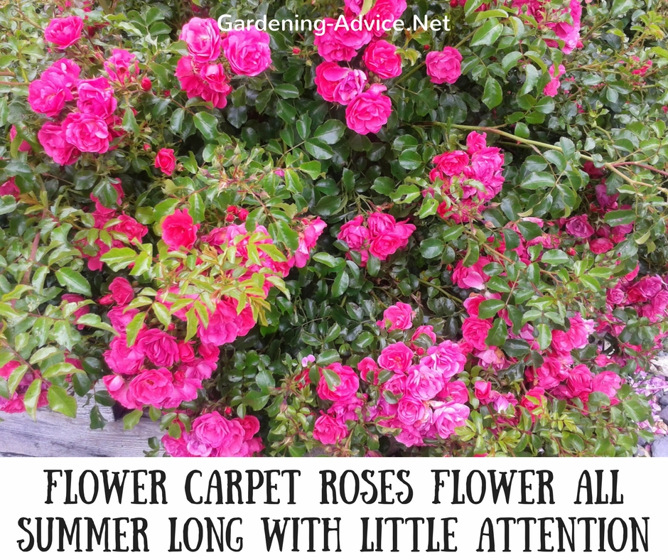 Pink Flower Carpet Rose