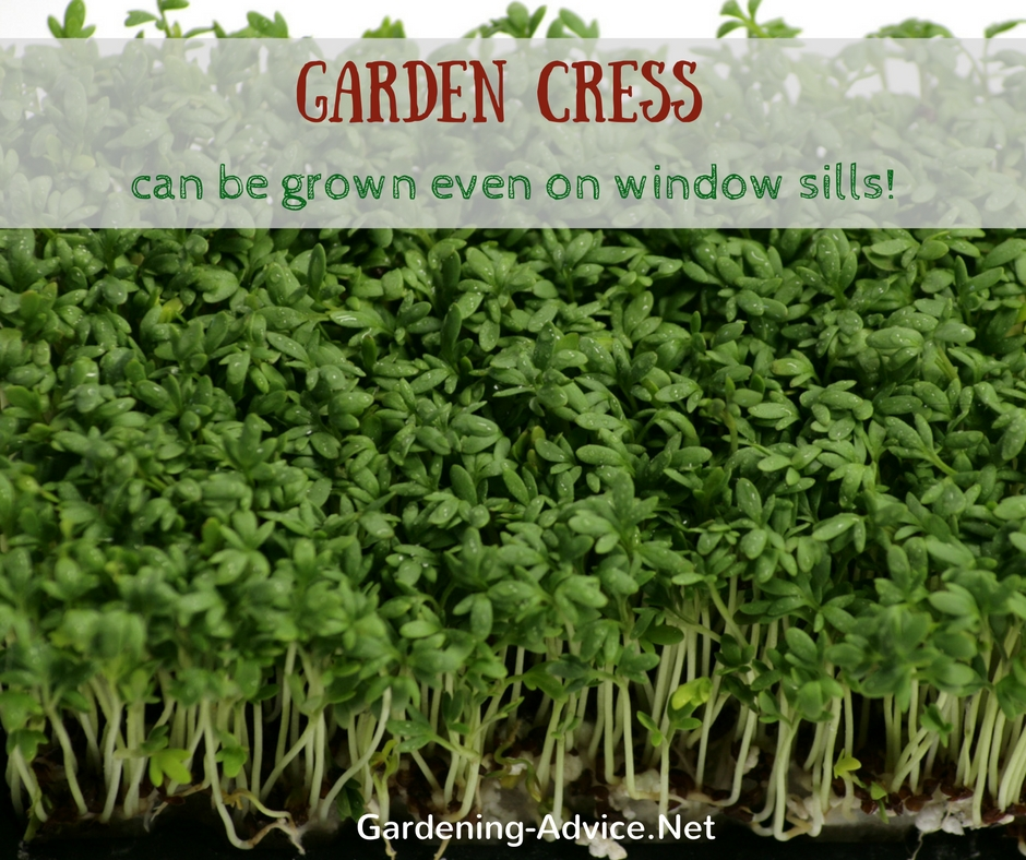 growing cress indoors