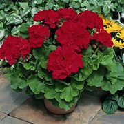 Geranium care growing geraniums outdoors or indoors - Overwintering geraniums tips ...