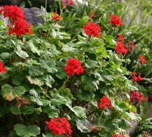 Geranium care growing geraniums outdoors or indoors - How to care for ivy geranium ...