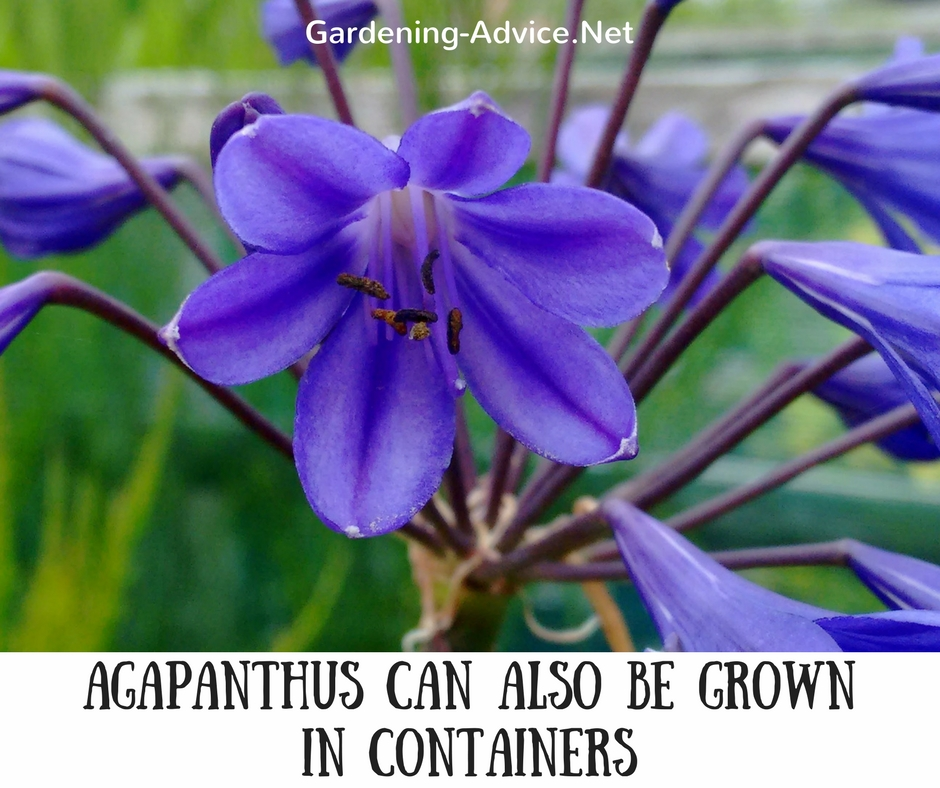 Agapanthus can be grown in containers