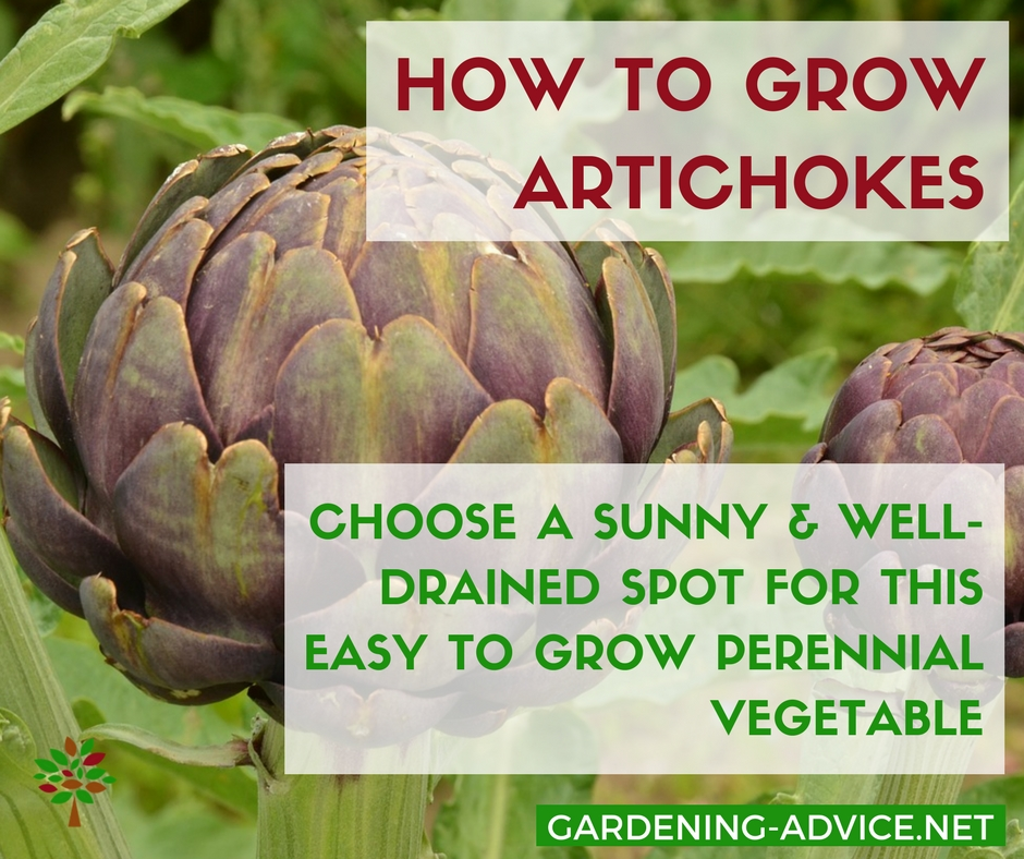How To Grow Artichokes #organicgardening #gardeningtips #permaculture #homesteading #homesteadgarden #vegetablegardening