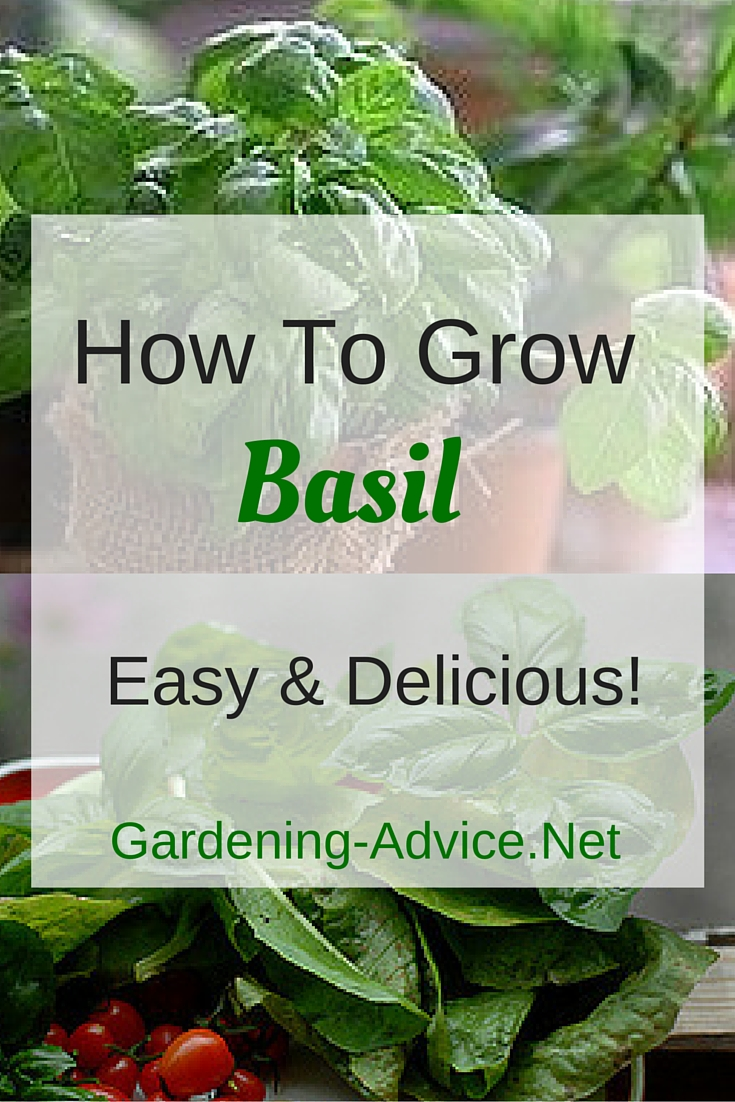Growing Basil - How To Grow Basil The Easy Way