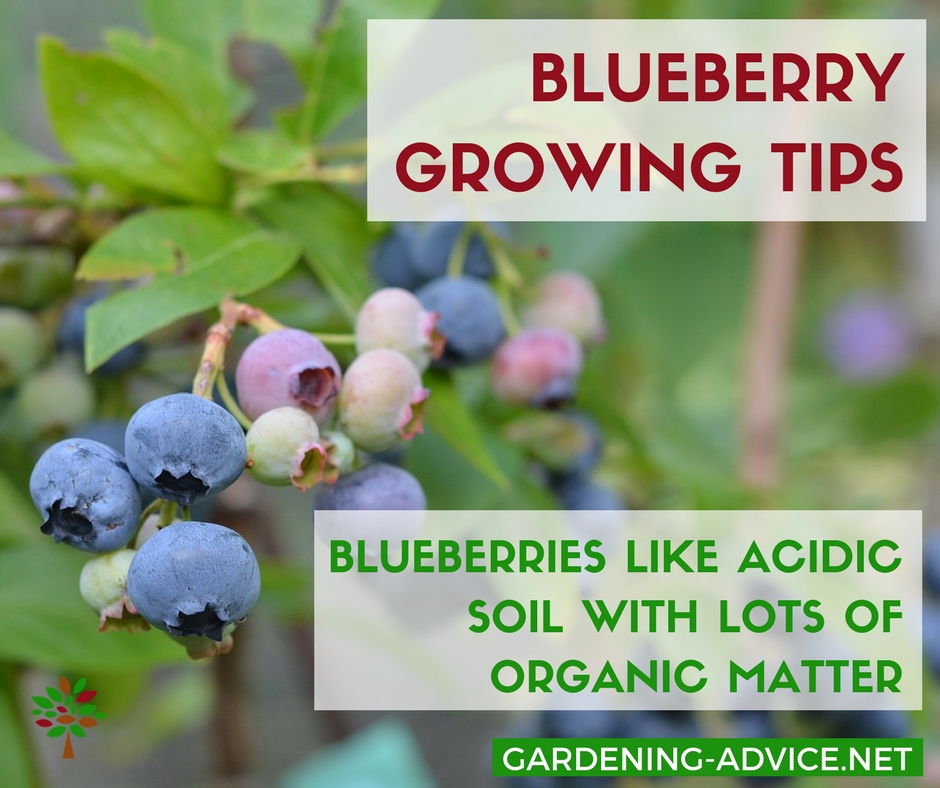 How To Grow Blueberries #gardeningtips #organicgardening #urbangardening #homesteading #homesteadgarden #gardening