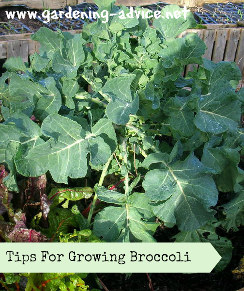 Growing broccoli how to grow broccoli plants in your for Plants to grow in garden