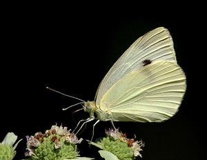 CabbageWhite Butterfly