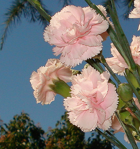 Growing Carnations How To Grow Carnations In The Garden