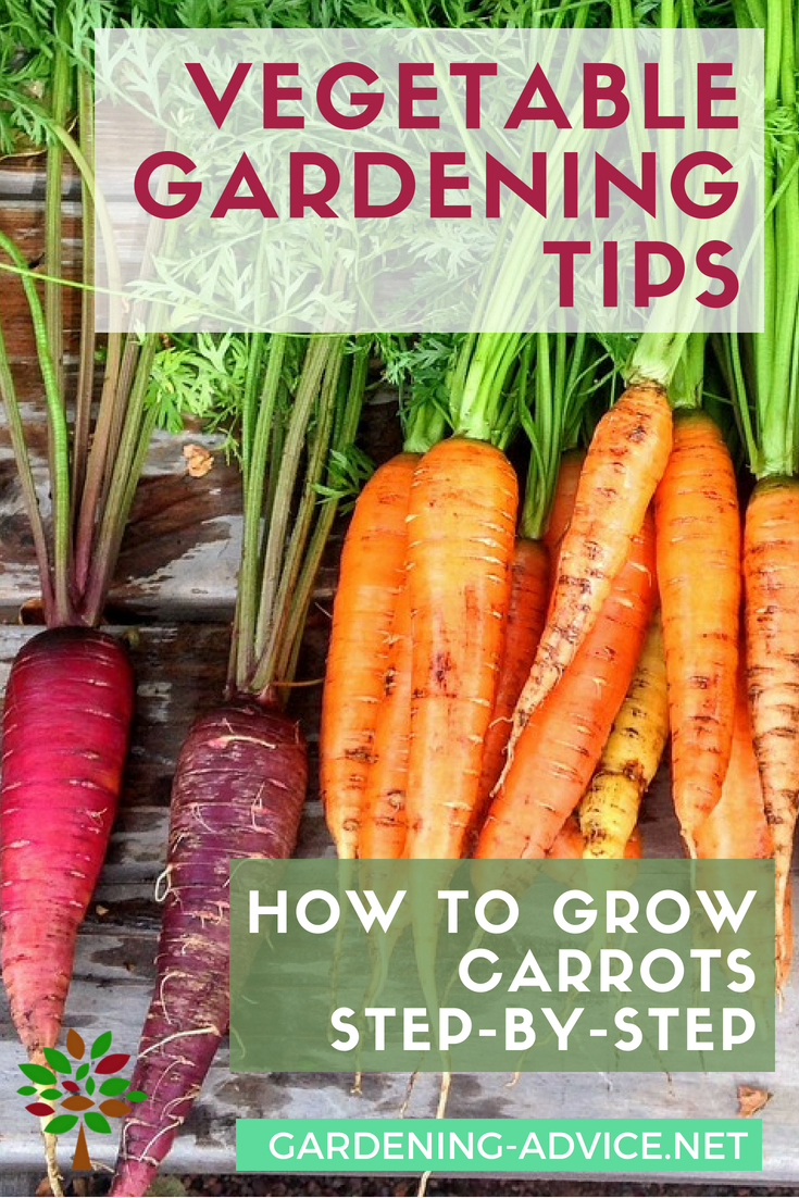 How to grow carrots step-by-step #gardeningtips #gardening #vegetablegardening #organicgardening #permaculture #homesteading #homesteadgarden #urbangardening