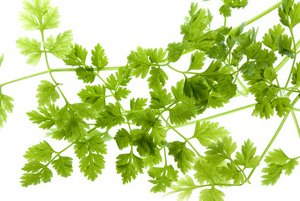 Growing Chervil Is Easy And Quick How To Grow This Underused