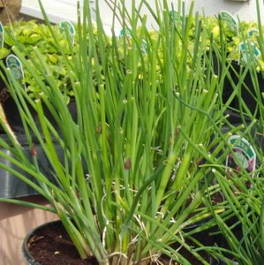 growing chives
