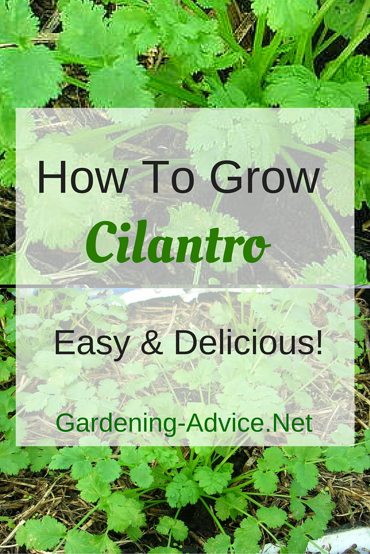 Growing cilantro coriander how to grow cilantro for for Gardening advice