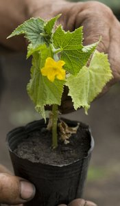 cucumber seedling