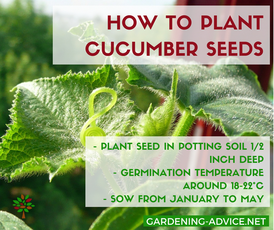 Cucumber Growing Tips #gardeningtips #organicgardening #gardening #growyourownfood #homesteading #homesteadgarden #urbangardening