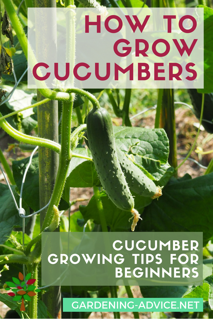 How To Grow Cucumbers #gardeningtips #organicgardening #gardening #growyourownfood #homesteading #homesteadgarden #urbangardening