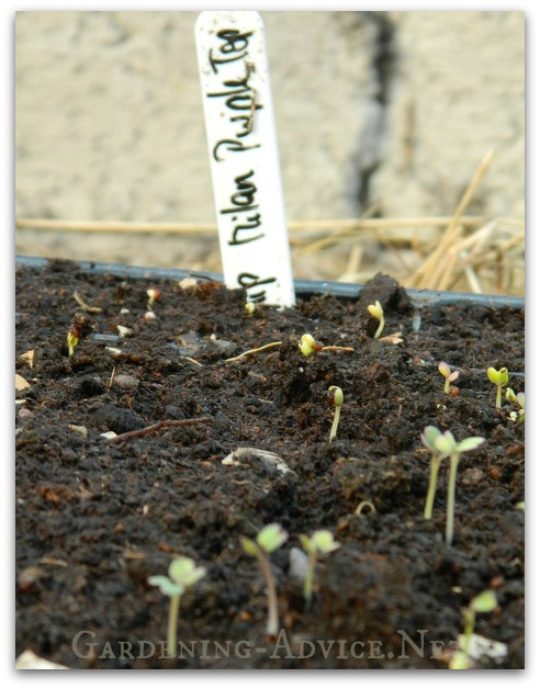 turnips growing from seed