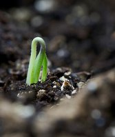 emerging seedling