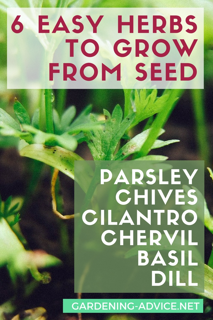 6 Easy Herbs To Grow From Seed #gardeningtips #gardening #herbgardening #herbs #urbangardening #homesteading #homesteadgarden
