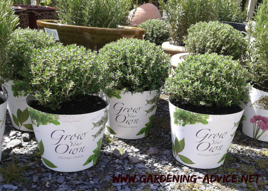 growing herbs in containers tips for growing herbs in your backyard. Black Bedroom Furniture Sets. Home Design Ideas