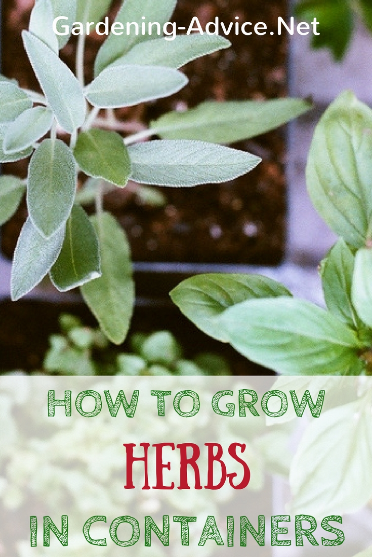 Growing Herbs In Containers Tips For Growing Herbs In
