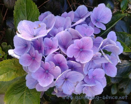 growing hydrangeas and hydrangea care tips, Beautiful flower
