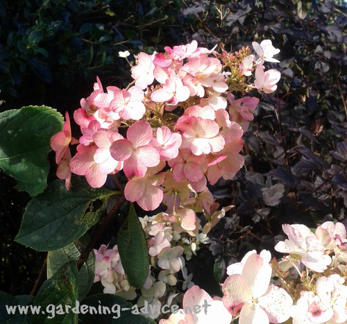 Growing Hydrangeas Care Tips For Flowers All Summer