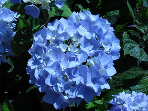 Endless Summer Hydrangea - Hydrangea 'Endless Summer'
