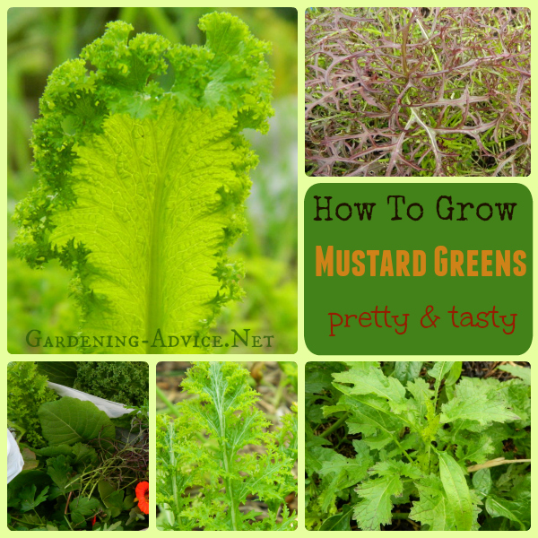 growing mustard greens collage