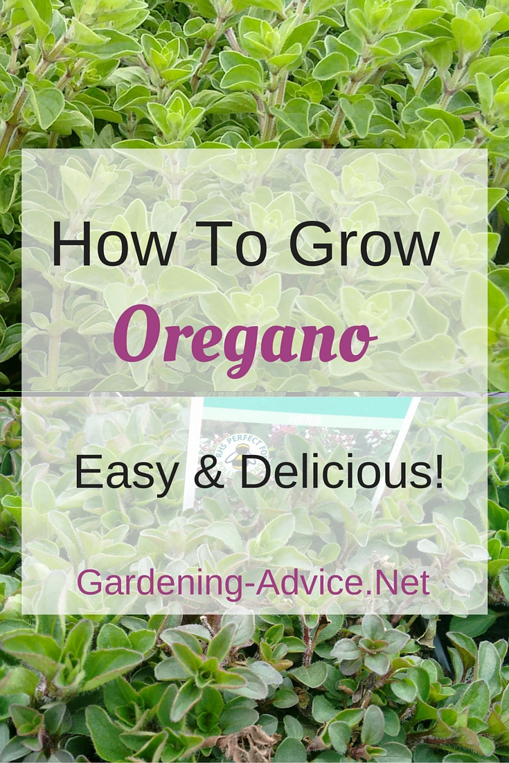 Gardening tips for growing oregano and marjoram how to for Gardening advice