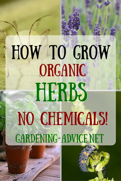 How To Grow Organic Herbs