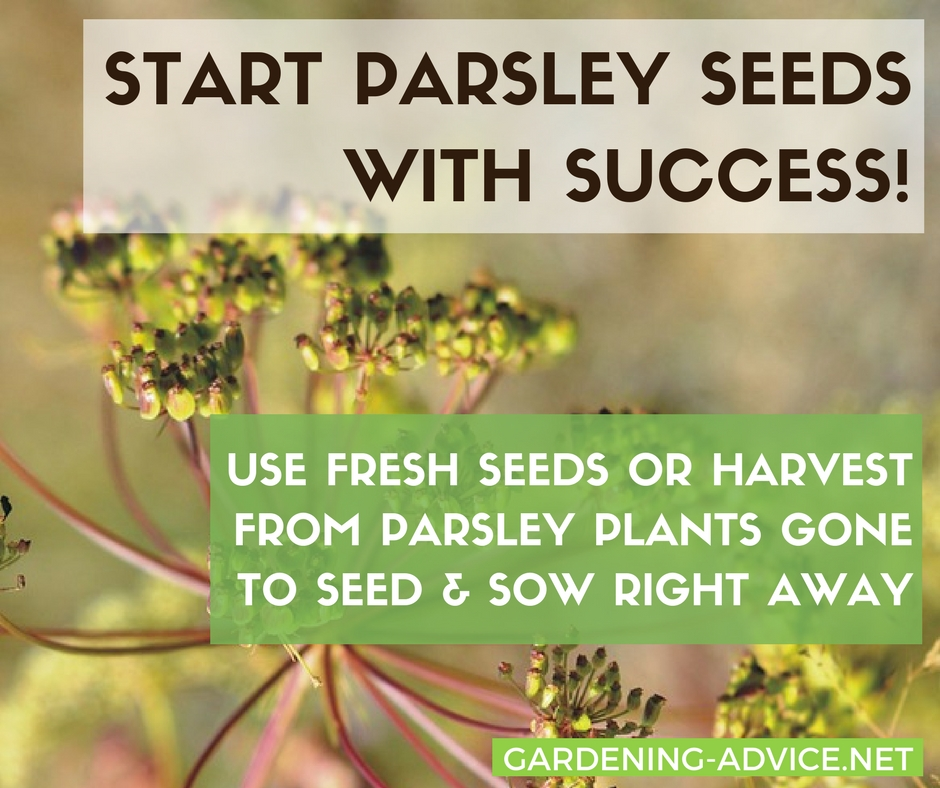 Tips & Tricks For Growing Parsley From Seed #gardeningtips #herbgardening #gardening #herbs #organicgardening