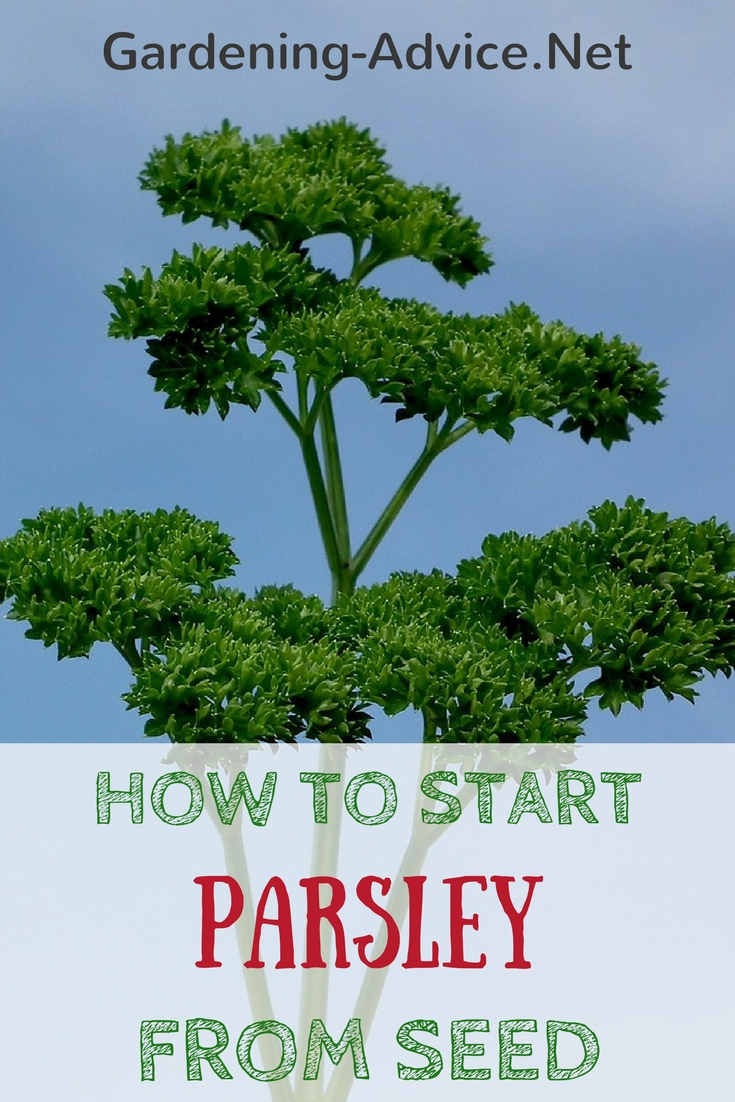 Growing Parsley From Seed #gardeningtips #herbgardening #gardening #herbs #organicgardening