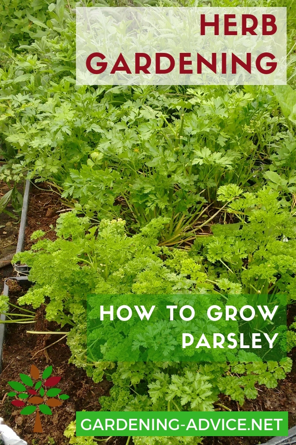 366592a2042 Growing Parsley - How To Grow This Versatile Herb Indoors Or Outdoors