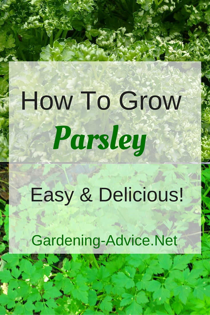 Growing Parsley How To Grow This Versatile Herb Indoors