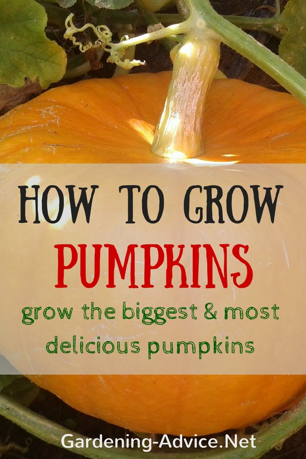 Growing pumpkins how to grow the biggest and most for Gardening advice