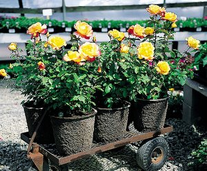 Grow A Garden In Pots Growing roses in containers rose bush care for pots growing roses in containers workwithnaturefo