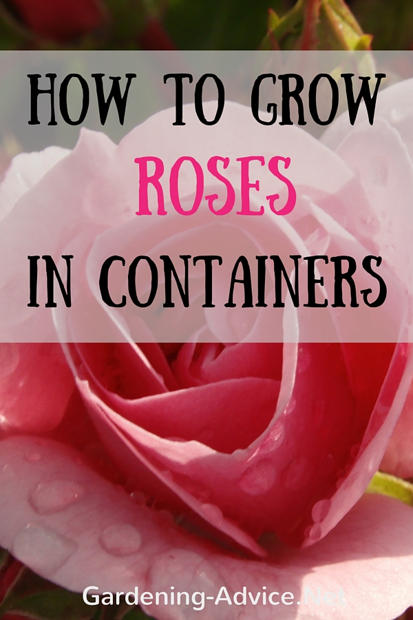 How to grow roses in containers #gardeningtips #roses #rosegardening #containergardening #organicgardening #gardening