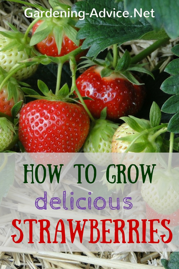 How To Grow Strawberries #organicgardening #gardeningtips #gardening #homesteading #homesteadgarden #urbangarden